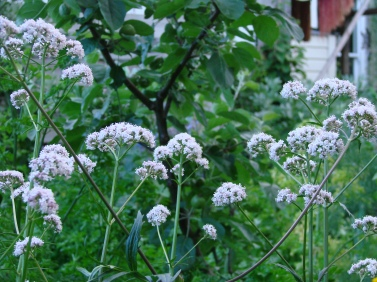 Spring valerian flowers beneath apple