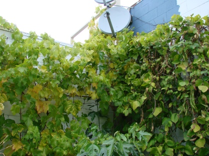 Grapes and runner beans making a run at the neighbours' communications.