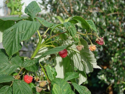 The last of autumn raspberries