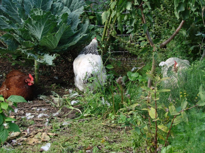 Temporary chicken run under dalmatian kale and apricot.