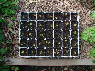 Gaultheria shallon (salal berry) seedlings.