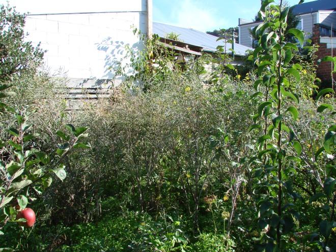 Kale seed crop.