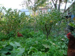 Chooks beneath gooseberries enjoying mostly white clover, chickweed and comfrey.