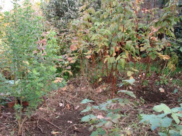 Autumn raspberries, tree medic and young tamarillo immediately after chickens. These perennials remain intact (with the aid of two bricks over the young tamarillo's roots) and the scratched ground provides an opportunity to re-sow another ground cover mix, in this case miners' lettuce. The tree medic is an experiment: to grow with the tamarillo to provide dappled protection from frost and occasional wet Dunedin snow. See Autumn 2013 for more on this.