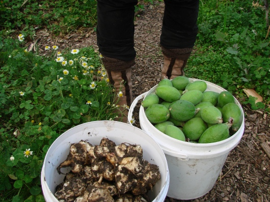 Jerusalem artichokes from one plant plus today's feijoa harvest. 5 x 5 year old Tagan I and II trees have let fly about 40 kg of fruit so far this season, with about the same again still on the trees. A week or so prior to them falling, I fenced the chickens underneath them to clear up the ground so the fallen (ripe) fruit is easy to spot. Although the chickens ignored the first to ones to fall, I moved them on to greener ground just in case they got a taste. I imagine a week or so on the ground and when the fruit start to get a few insects, they'd get gobbled. After the feijoas, late apples and a few blackberries, we are done with fresh fruit from the garden for six months. Some lives on frozen, dried and fermented, but without a huge surplus we just use the intervening months to get excited about next season.