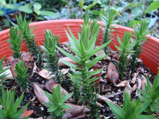 Araucaria araucana (monkey puzzle) nut seedlings
