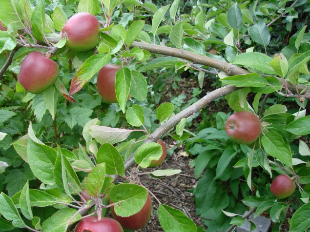 Tydeman's late orange' apple