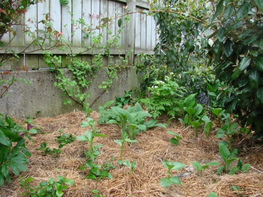 Newly planted Salal berry seedlings, Sweet cicely, Comfrey beneath Whitecurrant, Maqui and Elaeagnus