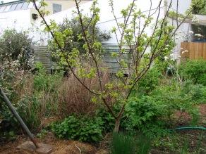 Apricot, Lemonbalm, mixed Alliums