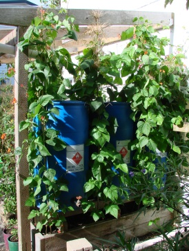 The back side of the lean to. Runner beans and a tap. The tanks are connected via a siphon over the tops.