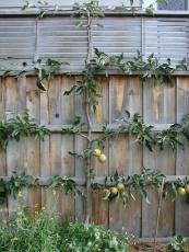Merton Russet apple espalier.