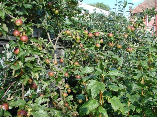 Tydeman's Late Orange apple.