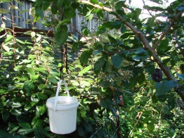 One way to lower young branches. Use as much water as you need weight.
