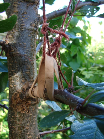 Another way to tie down young branches. The branch being tied down is above and a mirror of this sturdy lower one. The rubber bands allow some flex and don't hurt the wood like string. Hemp twine is really strong, cheap and you should be able to use it again after one season has set the branch at a good angle (as close to 90 degrees as possible).