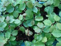 Hazel seedlings