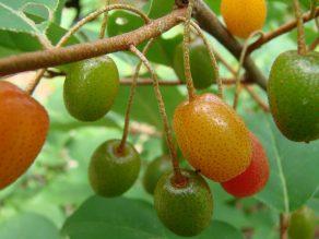 Goumi berries