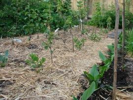 Greens. Haskap, blackcurrant and fruit tree mini nursery