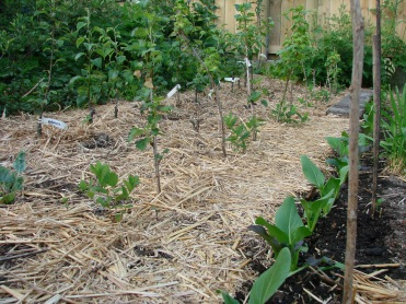 Greens. Haskap, blackcurrant and fruit tree mini nursery