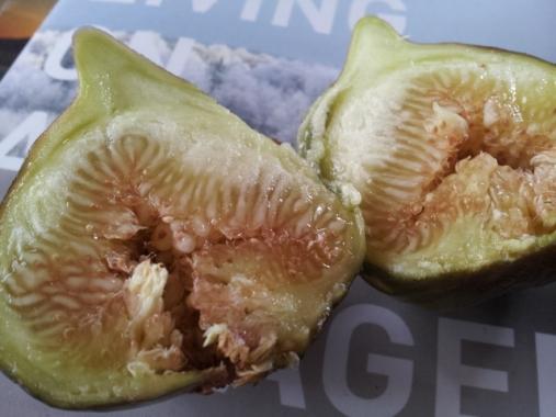Brown Turkey fig