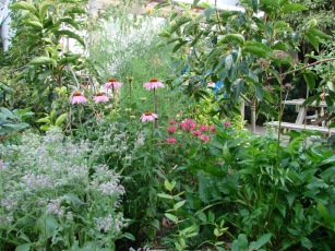 Echinacea, bergamot, valerian, asparagus, borage and haskap under persimmon
