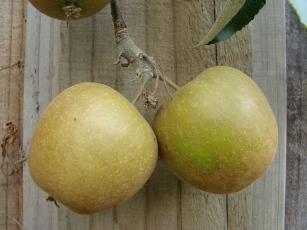 Merton Russet apple