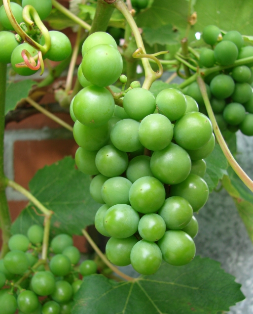 First crop of Niagara grapes