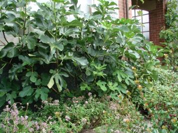 Brown Turkey fig on west wall
