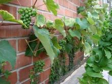 First crop Schuyler grapes