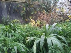 Parsley and rengarenga amongst gooseberries, plums and blackberries