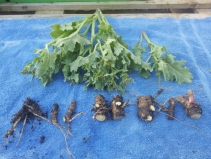 Sea kale root cuttings