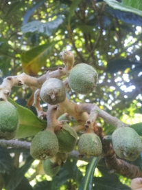 Loquat well under way at a garden nearby