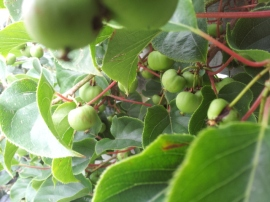 Arguta kiwifruits - first big crop this year!