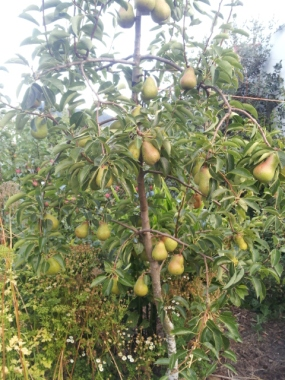 13 kg from this pear 1m wide 3m tall