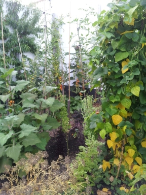 Mini market garden: beans, toms, yacon underplanted with hardy greens for the winter