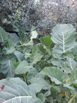 Perennial brassica (one cutting!)